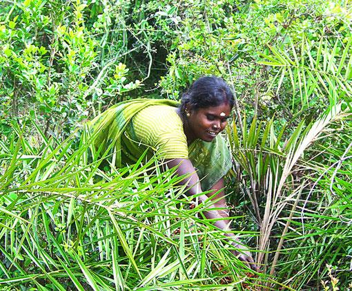 Junge Ureinwohnerfrau (Irular Adivasi) auf der Suche nach Heilpflanzen