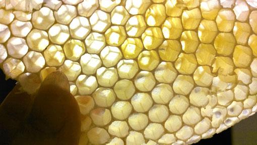 Leere Bienenwabe im Gegenlicht. Ein Meisterstück der Natur!