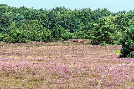 Westruper Heide, Heide, Natur, Landschaft, Bild, Foto, Fotografie