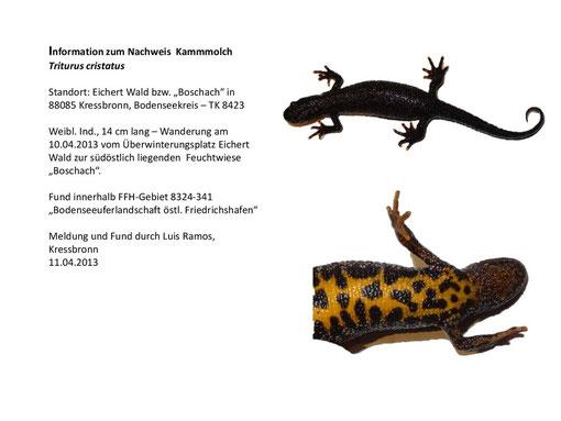Kamm-Molch-Weibchen 11. April 2013 (Luis Ramos)