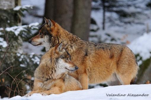 coppia di lupi