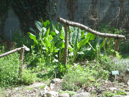 Gemüseampfer (mit den großen Blättern in der Mitte des Bildes) treibt jedes Frühjahr aufs Neue aus und kann bis in den Herbst hinein kontinuierlich geerntet werden