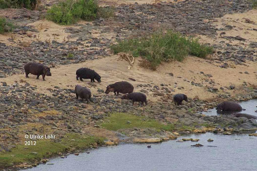 Hippos am Olifants River