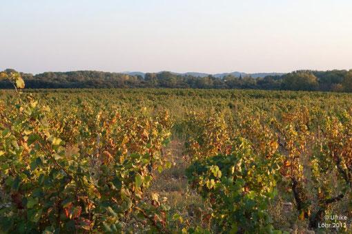 Chateauneuf du Pape - Wein, Wein, Wein
