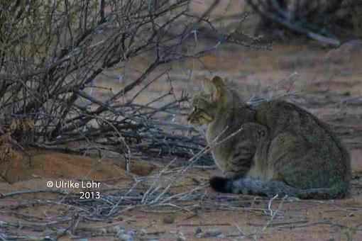 Afrikanische Wildkatze n der Straße nach Mata Mata