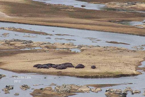 noch mehr Flusspferde am Olifants River