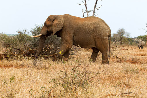Sehr haben wir uns über Fotos der Nashörner gefreut -> hier erblickten wir das Ungetüm von der Straße aus. Erst sahen wir nur den Elefanten ... Wenige Augenblicke später kam das Nashorn direkt auf uns zu und lies sich ausgiebig fotografieren.
