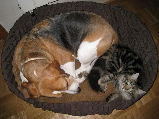 Beagle Joschi hat noch grosse Angst vor ihr. da kann man nur im Schlaf ran.