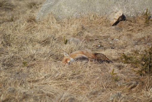 Ein kleiner Fuchs beim Mittagsschlaf in der Sonne. Herr Fuchs hat sich kaum stören lassen.