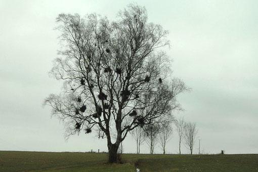 "Naturdenkmal ""Zeckabaum"" oberhalb des Reichenbachtales."