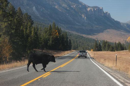 Kühe auf dem Highway, Open Range, Wyoming, USA