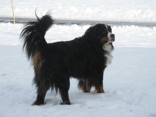Hofhund Rico