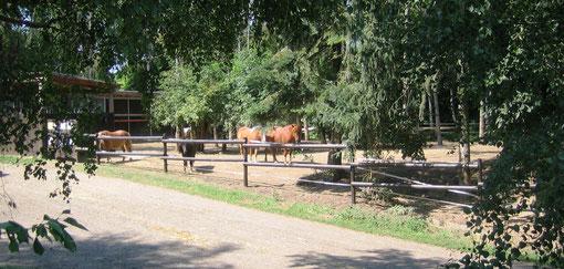 Ponys im Ponygehege unter Bäumen