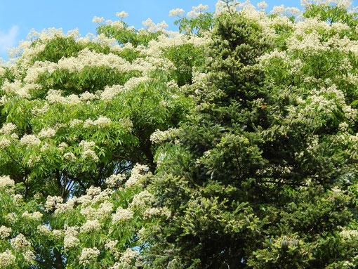 Japanische Schnurbaum auch Honigbaum genannt