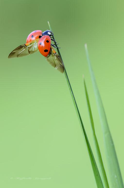 Lap dances of Ladybug