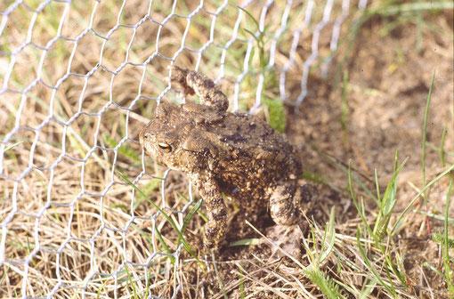 Erdkrötenmännchen am Zaun  Foto: Hans-J. Ropers