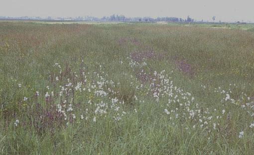 Feuchtgrünlandfläche mit üppigem Sumpfläusekraut- und Wollgrasbestand  Foto: Hans-J. Ropers