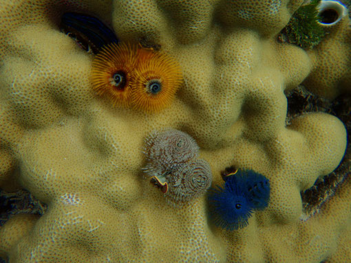 Christmas tree worms, Caqalai, Fiji