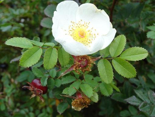 Bild: Bibernellrose oder Dünenrose mit weißer Blüte und dunkelroten Hagebutten