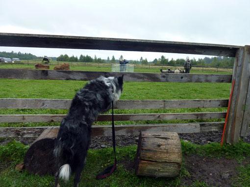 Herding 1.09.2012.Raf Dewinter