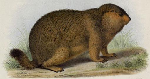 Arctomys robustus, A. M. E. La marmotte robuste. Femelle adulte provenant des hautes montagnes du Tibet oriental  et rapportée par M. l'abbé A. David.
