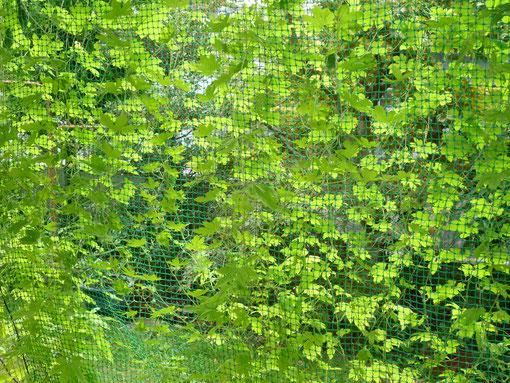 ゴーヤグリーンカーテン
