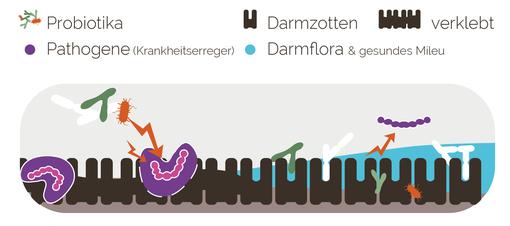 Wirkweise Probiotika im Darm
