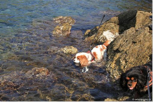 Charly geniesst ein erfrischendes Bad im Meer... sicherheithalber an der Leine, denn