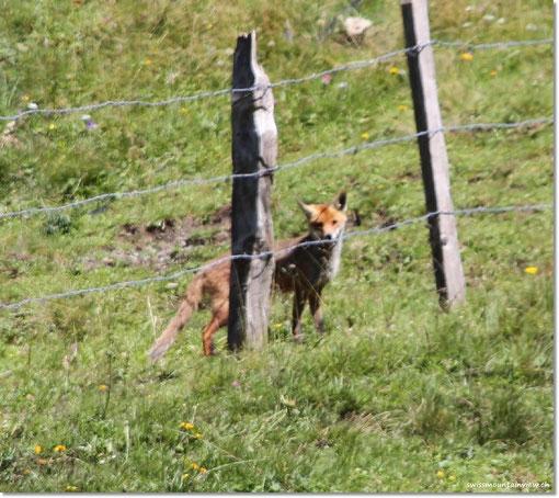 Plötzlich huscht was weg, ein Fuchs in freier Natur.