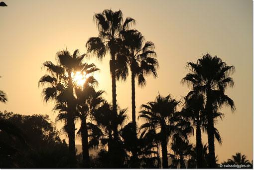 Palmen bei Hyères