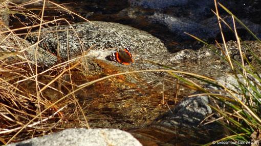 ... sein Objekt der Begierde sitzt friedlich auf einem Stein ... und ist leider nicht allein unterwegs.