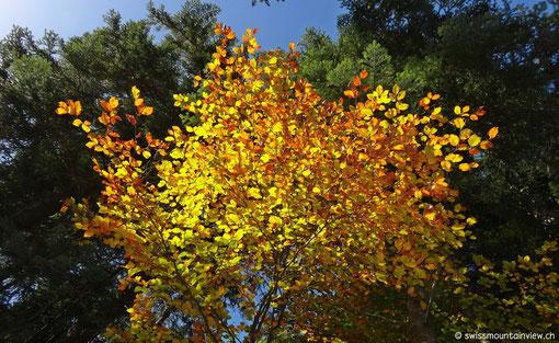immer wieder gesäumt von leuchtend gelben Bäumen
