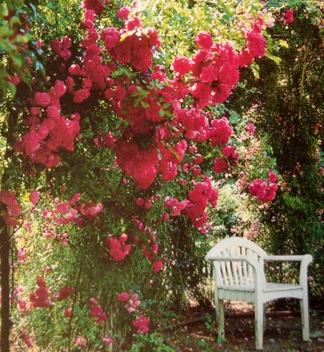 Kletterrosen in voller Blüte
