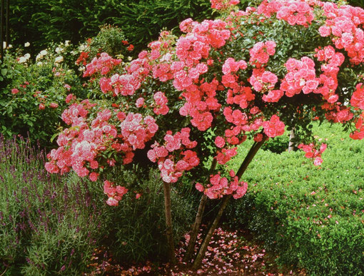 Rosenbogen mit rosa blühenden Kletterrosen, in voller Blüte