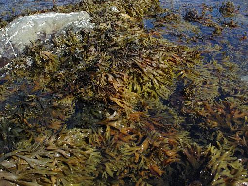 Algue brune - Ascophylle noueuse et Fucus