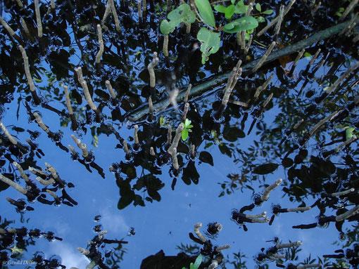 Reflet mangrove de Port-Louis, Guadeloupe