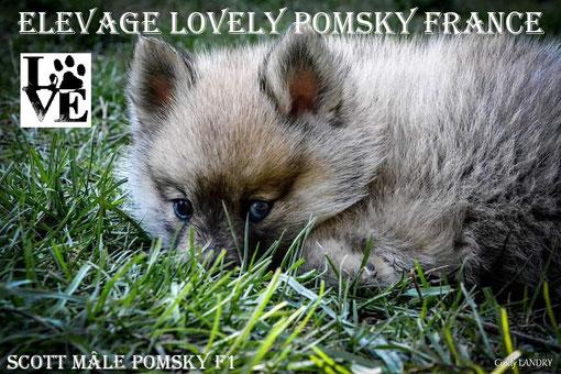 Mâle Pomsky F1