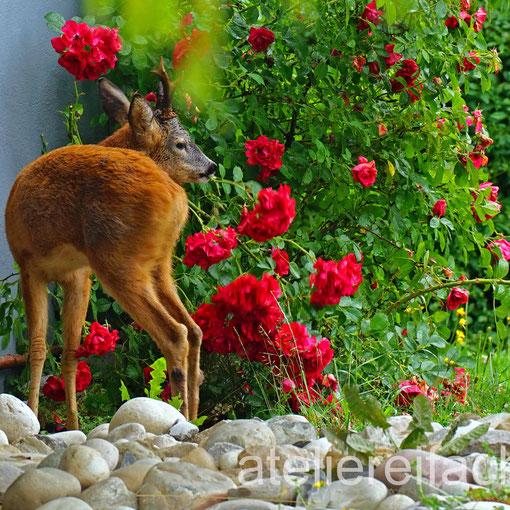 Rehbock beim Rosen naschen, Horw, Luzern, CH