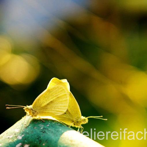 Sommerhochzeit zweier Kohlweisslinge, Horw, Luzern, CH