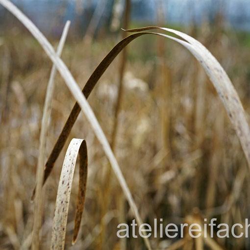 «Musik fürs Auge» II), Schilf im Herbst, Horw, Luzern, CH