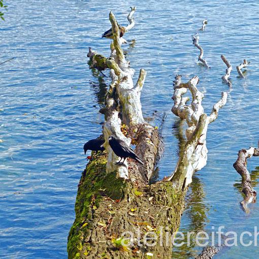 Rabenpaar auf Baumstamm im Wasser, Horw, Luzern, CH