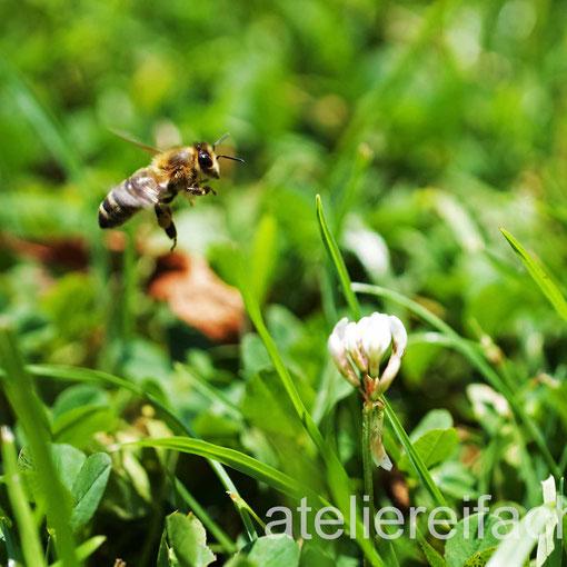 «Biene im Anflug» einer Kleeblüte, Cham am Zugersee, Zug, CH