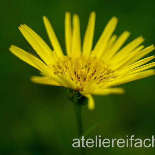 Schlichte Anmut in gelb, Wiesenbocksbart, Horw, Luzern, CH