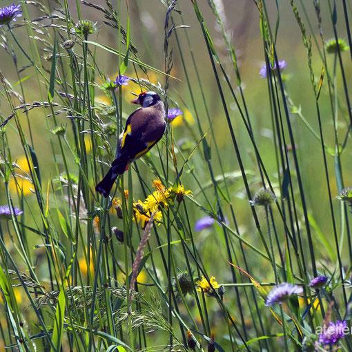 Distelfink in Wildblumenwiese, Horw, Luzern, CH