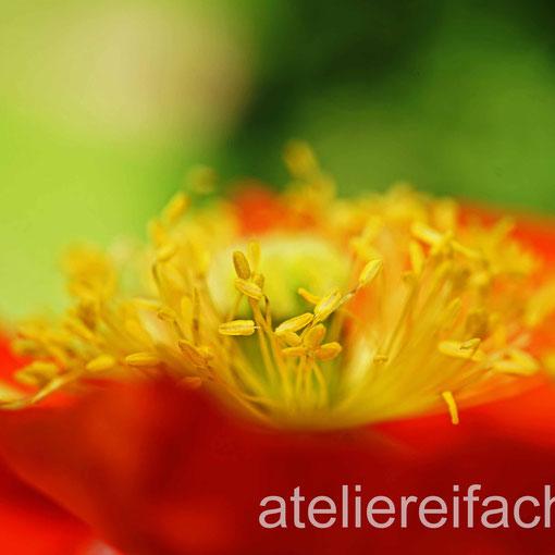 «WunderSame Farbenpracht», Wilder Mohn, Horw, Luzern, CH