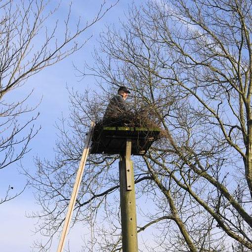 Storchenvater beim Flechten in Nest