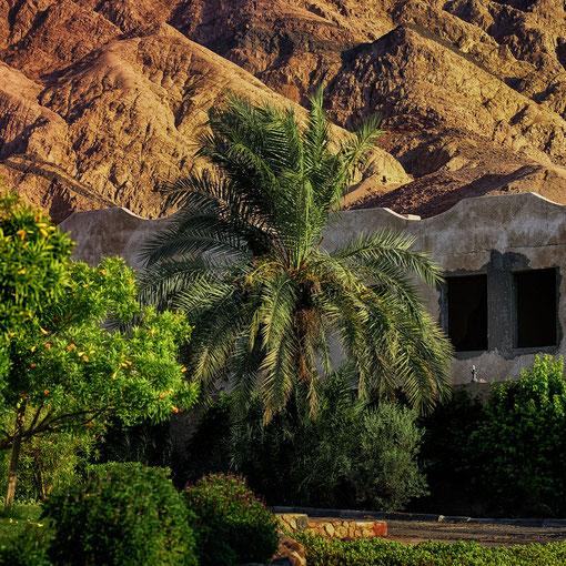 Palmen am Sinai-Gebirge
