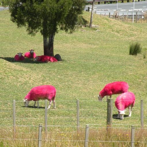 in Neuseeland gibt es keine schwarzen Schafe. Jürg hat herausgefunden woher die roten Socken kommen.
