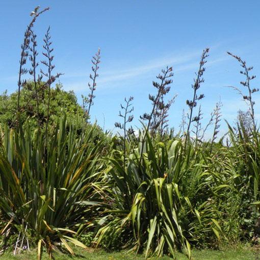 das wichtigste für Maori. Eine Art Lebensbaum