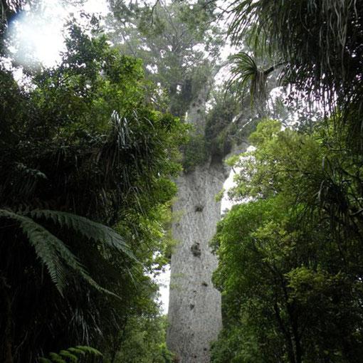 Kauribaum den grössten Baum den wir je sahen.
